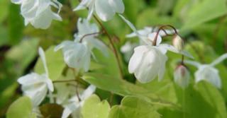 Epimedium youngianum (x) 'Niveum'