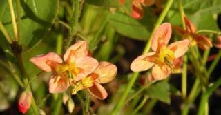 Epimedium pubigerum 'Orangekönigin'