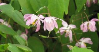 Epimedium grandiflorum 'Sasaki'