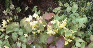Epimedium versicolor (x) 'Sulphureum'