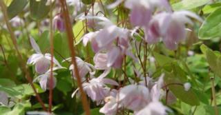 Epimedium youngianum (x)'Roseum'