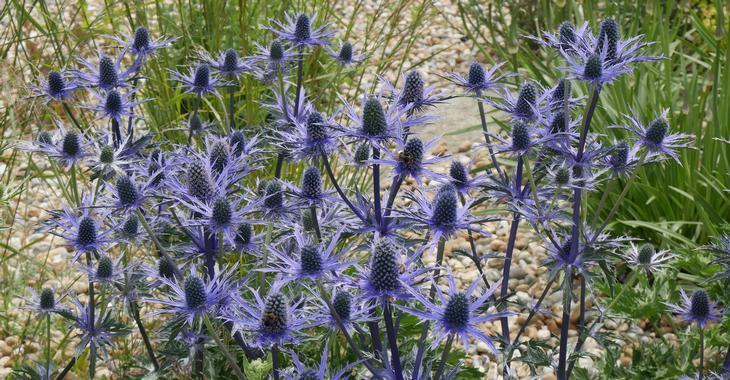 Eryngium zabelii (x) 'Big Blue'