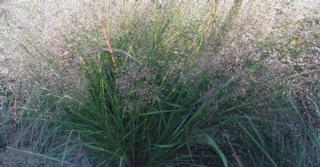 Eragrostis trichodes 'Bend'