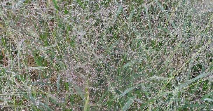 Eragrostis spectabilis JS® 'Great Plains'