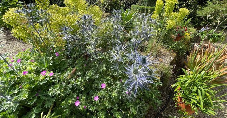 Eryngium bourgatii 'Pen Blue'