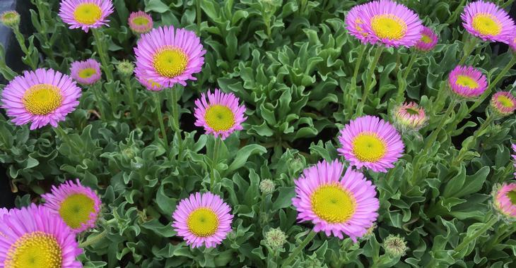 Erigeron glaucus 'Sea Breeze'