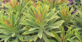 Euphorbia martinii (x) 'Ascot Rainbow' PBR