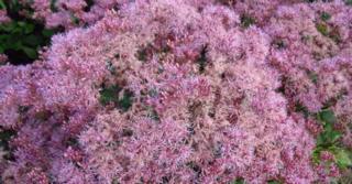 Eupatorium maculatum 'Purple Bush'