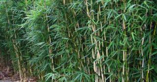Fargesia robusta 'Pingwu'  60/80