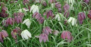 Fritillaria meleagris LOS