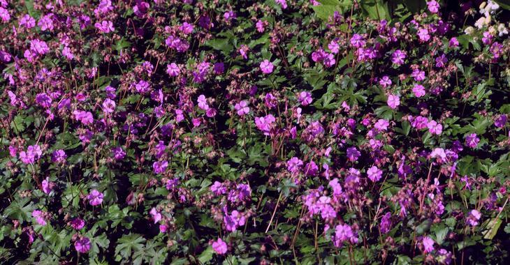 Geranium cantabrigiense (x) 'Crystal Rose'