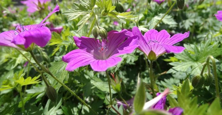 Geranium JS® 'Deux Fleurs'