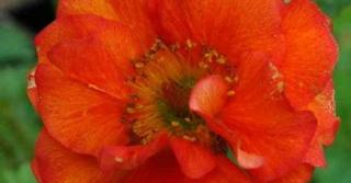Geum rivale 'Flames of Passion' PBR