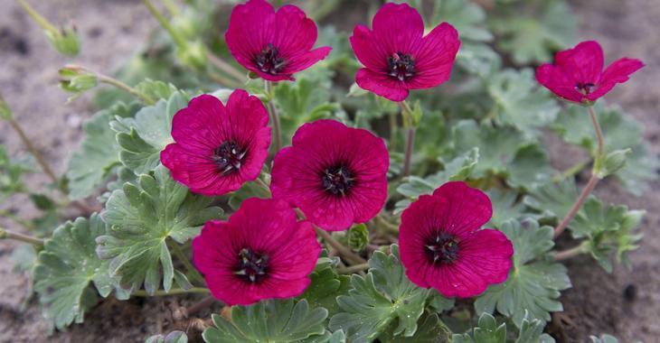 Geranium cin. JOLLY JEWEL RED ®