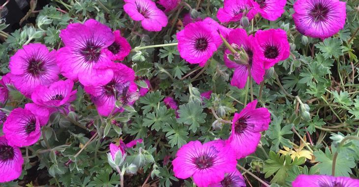 Geranium cin. JOLLY JEWEL SILVER ®