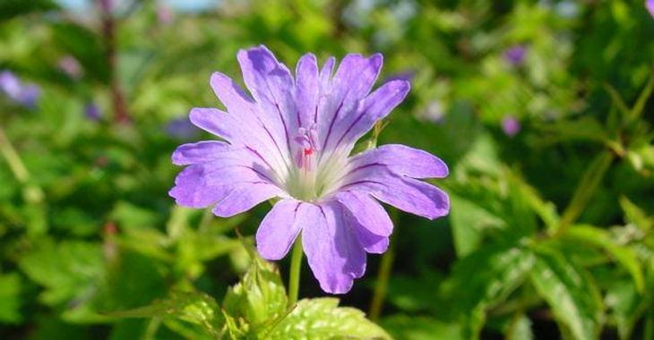 Geranium nodosum 'Marijke'