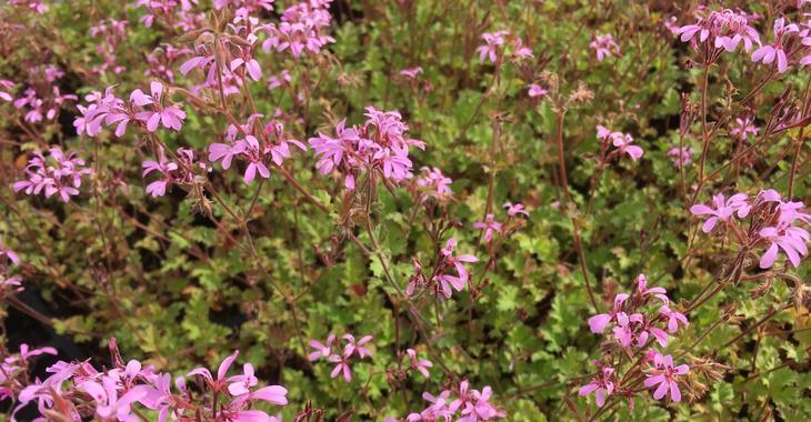Geranium 'Pink Pinks'