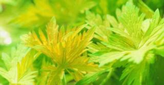 Geranium BLUE SUNRISE ® (= 'Blogold' PBR)