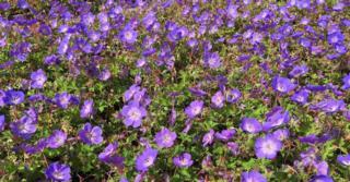 Geranium ROZANNE ® (= 'Gerwat' PBR)