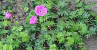 Geranium sanguineum 'Hannelore'