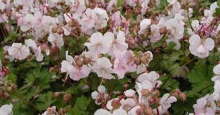 Geranium cantabrigiense (x) 'St Ola'