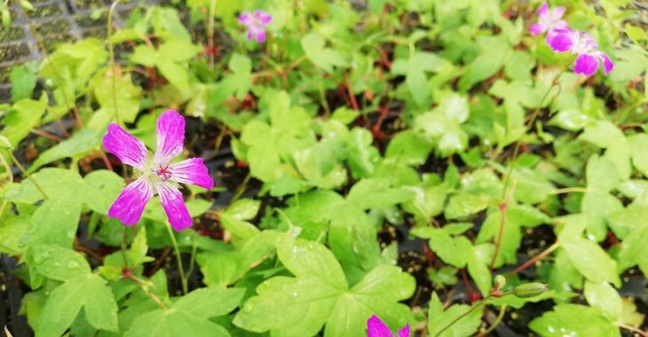 Geranium nodosum 'Swiss Purple'