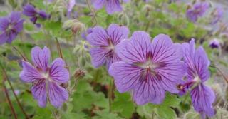Geranium 'Terre Franche'