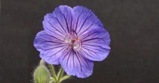 Geranium ibericum 'Turco'