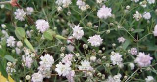 Gypsophila 'Rosenschleier'