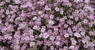 Gypsophila repens 'Rosa Schönheit'