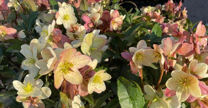 Helleborus nigercors (x) 'Candy Love' PBR