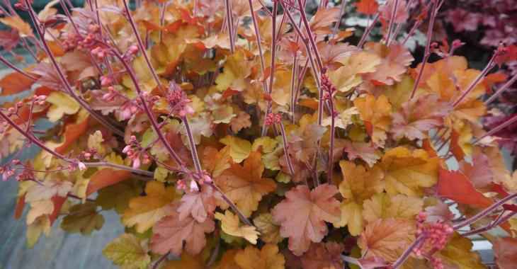 Heuchera 'Happy Autumn' PBR