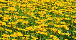 Heliopsis helianthoides JS® 'Sunny Wink'