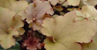 Heuchera 'Marmalade' PBR (Villosa-groep)