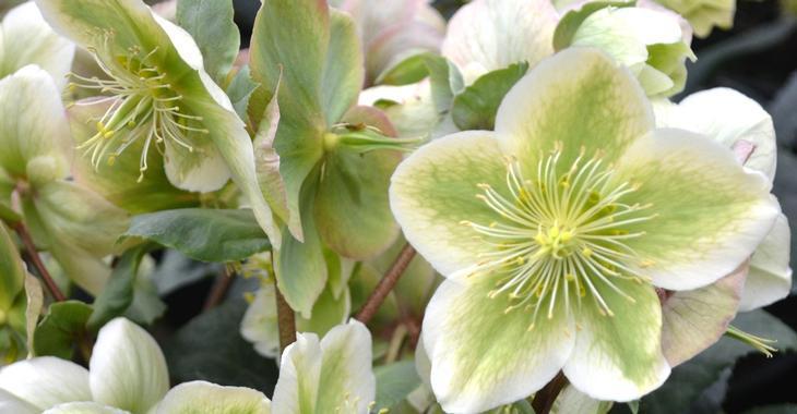 Helleborus nigercors (x) 'Royal Sofia'