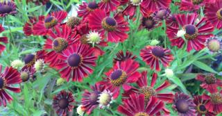 Helenium autumnale 'Siesta' PBR
