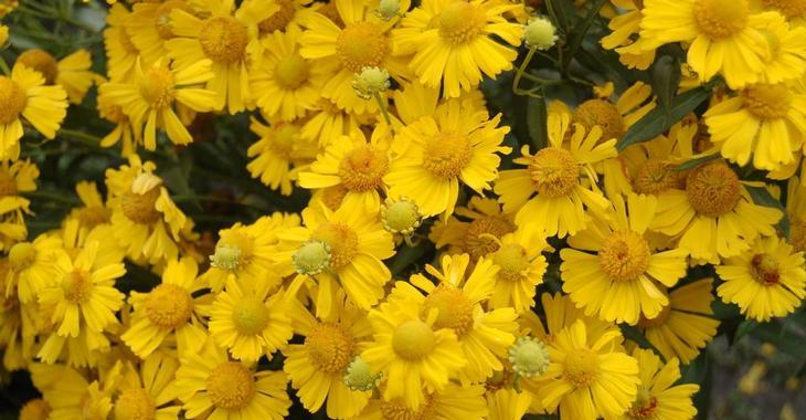 Helenium autumnale 'Sombrero' PBR