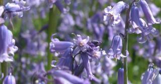 Hyacinthoides non-scripta LOS