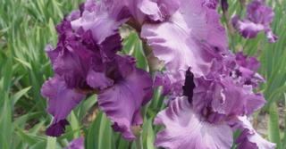 Iris 'Blushes' (Germanica-Group)
