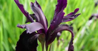 Iris chrysographes ('Black Form')
