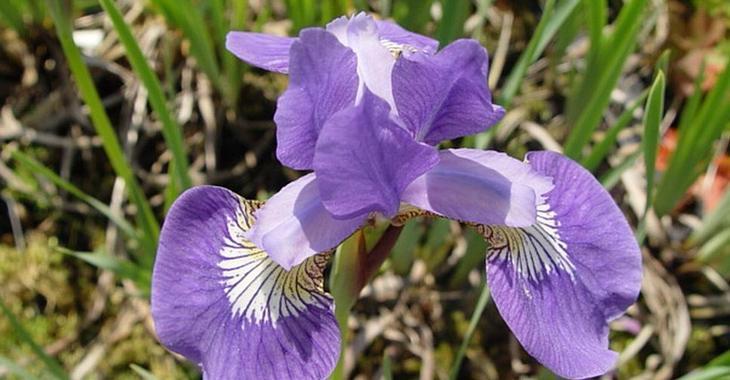 Iris sibirica JS® 'Jelle'