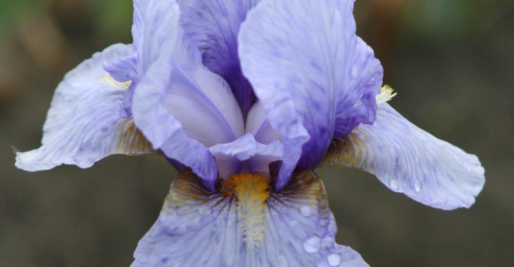 Iris 'Junior Prom' (Germanica-Group)