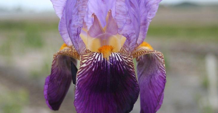 Iris 'Nightfall' (Germanica-Group)