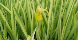 Iris pseudacorus 'Variegata'