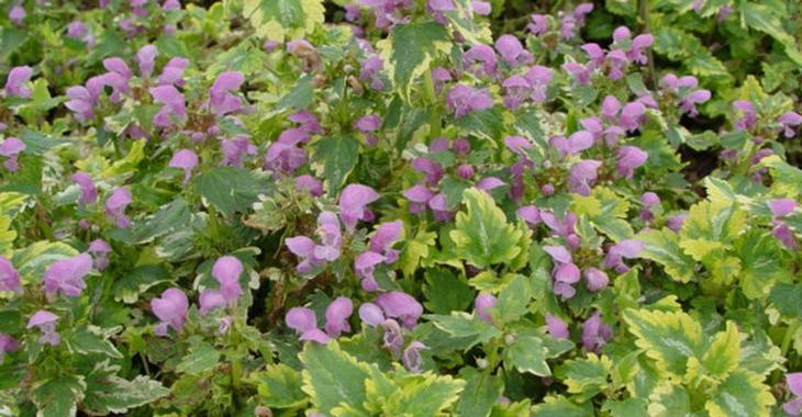 Lamium maculatum 'Anne Greenaway'