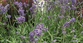Lavandula angustifolia 'Essence Purple'