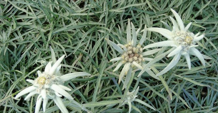 Leontopodium alpinum 'Maischnee'