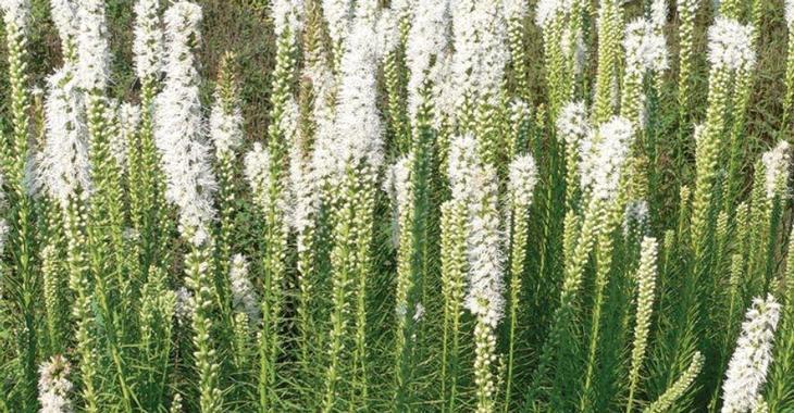 Liatris spicata 'Floristan Weiss'