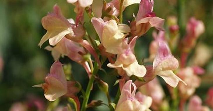 Linaria purpurea 'Peachy'