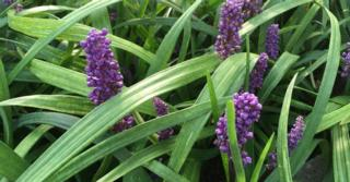 Liriope muscari 'Purple Passion'